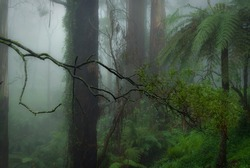 Sassafras Creek in the morning fog in the Dandenong Ranges National Park.  The Dandenongs are a temperate rainforest of mountain ash gum trees and tree ferns, just an hours drive from Melbourne.