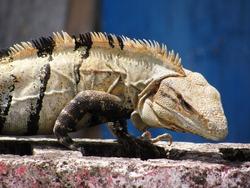 Sassy iguana creeping along a wall