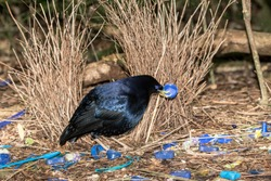 Satin Bowerbird in courtship display by it's Bower