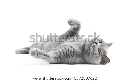 Satisfied British cat lies on a white background with a raised paw. Cat bastard on isolation. A cat for advertising feed. Playful pet close up.