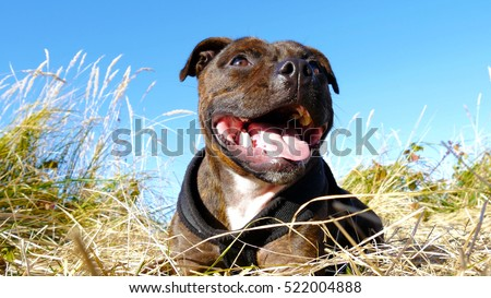 Satisfied dog is laying between the wild grasses and enjoying the sun. Brindle English Staffordshire Bull Terrier. #522004888