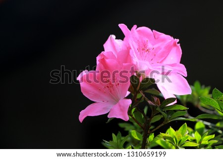 Satsuki azalea bonsai pink fowlers blooming in the beautiful sunshine With a black background. Copy Space for design card Valentine's Day.