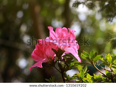 Satsuki azalea bonsai pink fowlers blooming in the beautiful sunshine With a natural background. Copy Space for design card Valentine's Day.