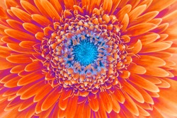Saturation luminosity color. Gerbera flower closeup background.