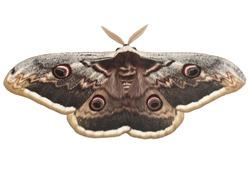 Saturnia pyri, the giant peacock moth, also called the great peacock moth, giant emperor moth, or Viennese emperor on white background. It is the largest European moth. Ilindentsi, Bulgaria-April 2005