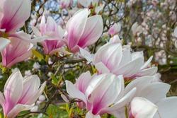 Saucer Magnolia (Magnolia soulangeana) blossom in the early springtime.