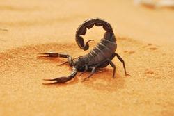 SAUDI ARABIA'S WILDLIFE (CAMEL.SCORPION, DESERT LANDSCAPE,DESERT LIZARDS/IGUANA)