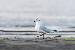 Saunders's gull (Chroicocephalus saundersi) winter plumage