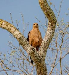 Savanah hawk looks down at camera from tree
