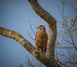 Savanah hawk perched on large tree looking left
