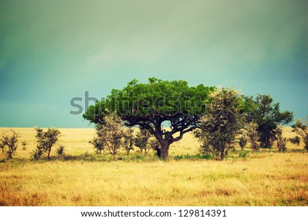 Savanna landscape in Africa Serengeti Tanzania Kigelia called Sausage Tree