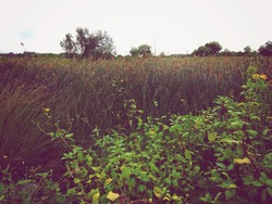 savanna meadow with tall grass plant and small flower and bright white foggy sky in dark green mood color grade