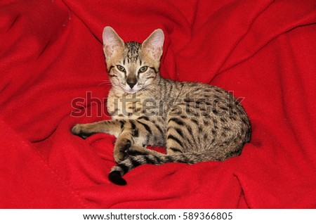 Savannah cat. Beautiful spotted and striped gold colored Serval Savannah kitten with golden yellow eyes and a black nose relaxing on a red blanket.