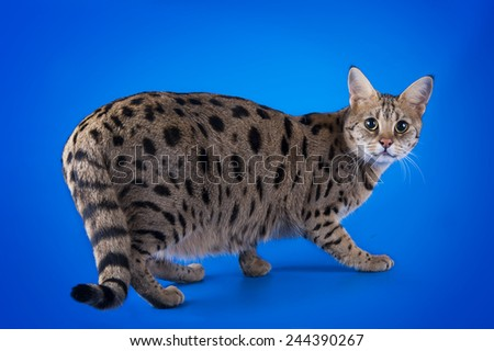 savannah cat on a blue background isolated