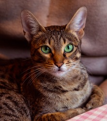 Savannah cat portrait.  Cat with short spotted coat pattern and bright green eyes boldly looks towards the camera