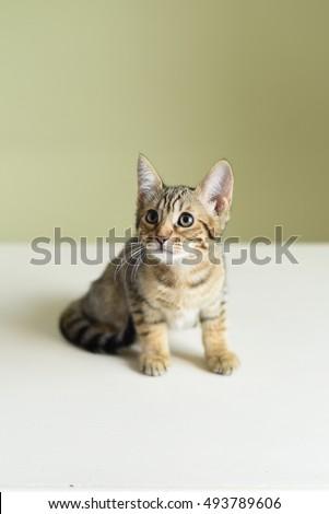 Savannah F5 kitten on the wooden table. #493789606