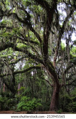 Savannah Georgia Live Oak Tree - Quercus geminata/Savannah Georgia Live Oak Tree - Quercus geminata/Savannah Georgia Live Oak Tree - Quercus geminata