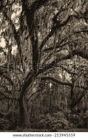 Savannah Georgia Live Oak Tree - Quercus geminata - Sepia Tones/Savannah Georgia Live Oak Tree - Quercus geminata - Sepia Tones/Savannah Georgia Live Oak Tree - Quercus geminata - Sepia Tones
