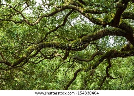 Savannah Georgia Live Oak trees in a square