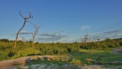Savannah landscape at golden hour. Curved trunks of dry trees against the blue sky. There are green bushes all around. There are logs on the grass. Clouds in the blue sky. Botswana. Chobe park.