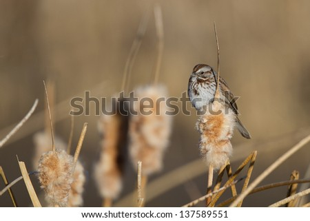 Savannah Sparrow in the marsh at Alamosa National Wildlife Refuge in southern Colorado