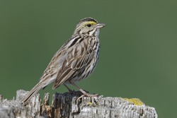 Savannah Sparrow (Passerculus sandwichensis) perched on a fence post - Ontario, Canada