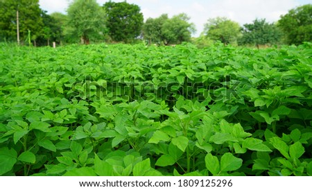 Savory greenish plants of Guar or Cyamopsis tetragonoloba. Gavar is a cluster bean, mostly uses in guar gum or Pharmaceuticals industry.   Foto stock ©