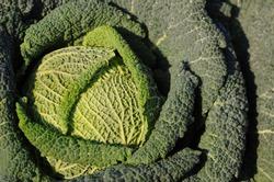 Savoy cabbage (Brassica oleracea convar. capitata var. sabauda L.)