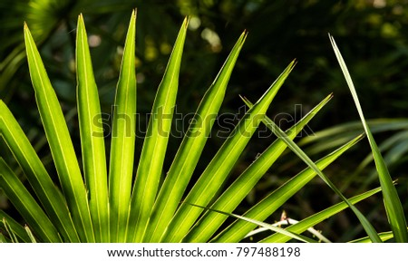 Saw Palmetto Fronds Close Up
