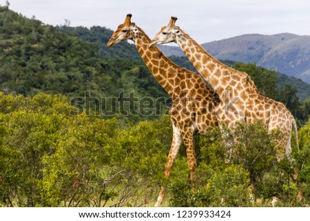 Saw these Giraffe walking while on a safari in the famous Kruger National Park in South Africa.