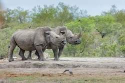 Saw this Rhinoceros  while visiting the famous Kruger National Park in South Africa.
