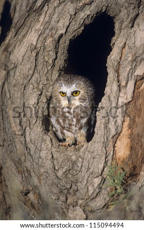 Saw whet owl in tree nest