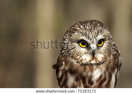 Saw-whet owl on a blurred background