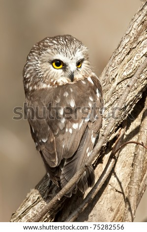Saw-whet Owl Sitting in a Tree with an Intense Stare