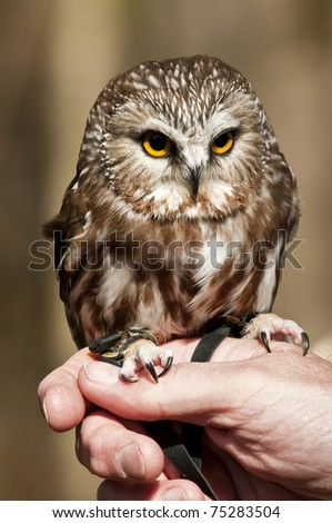 Saw-whet owl tethered and sitting on handler's hand