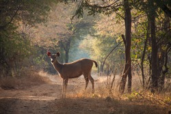 Sawai Madhopur, Rajasthan, India - November 2014 : Sambar deer standing in the forest and backlit by early morning sun at the Ranthambhore National Park
