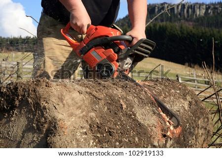 Sawdust flies as a man cuts a fallen tree into logs.