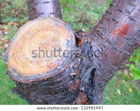 Sawn end of a fruit tree covered with protective garden wax to prevent infections and rottting