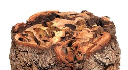 Sawn oak log with gallery and emerging holes of Great Capricorn Beetle, Cerambyx cerdo, (Coleoptera: Cerambycidae) is one of the main stem pests of oak trees