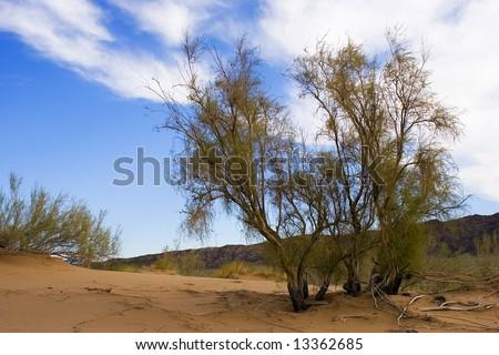 Saxaul Desert Tree Isolated On White Stock Illustration