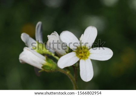 Saxifraga binder plant stonebreaker with beautiful white cerulean flowers natural light #1566802954