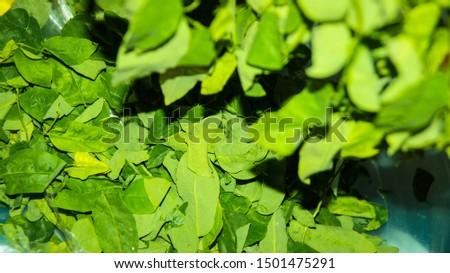 sayur manis, pucuk manis, sayur sabah, mani cai, greens from Borneo #1501475291
