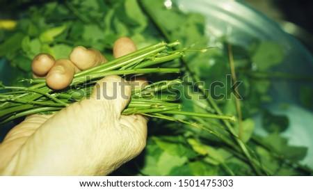 sayur manis, pucuk manis, sayur sabah, mani cai, greens from Borneo #1501475303