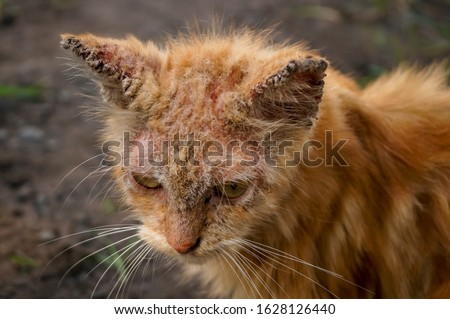 Scabies Cat with clinical sign of sarcoptic mange infection. Sarcoptic mange or scabies is a contagious parasitic disease caused by mite called Sarcoptes scabiei that affects animals and people Stock fotó ©