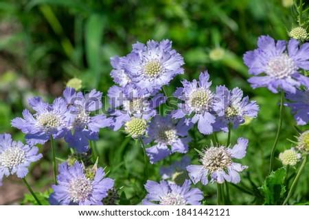 Scabiosa caucasica caucasian pincushion flowers in bloom, scabiosus flowering ornamental light bluebeautiful garden plant Foto stock ©