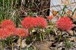 Scadoxus multiflorusAn herbaceous plant with tubers, oblong leaves, parallel edges. There are black and red spots along the trunk. Flowering before the leaf. The fringed flower resembles a red tassel.
