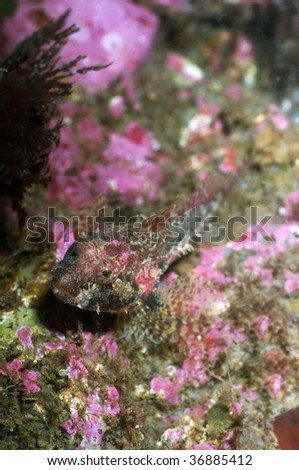 Scale head sculpin camouflaged against some coralline coral.
