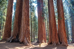 Scale of the giant sequoias, Sequoia National Park. California. U.S