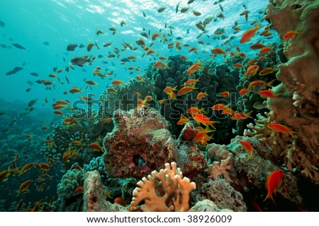 scalefin anthias fish on the reef - stock photo