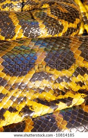 Scales detail of Yellow Anaconda (Eunectes notaeus)